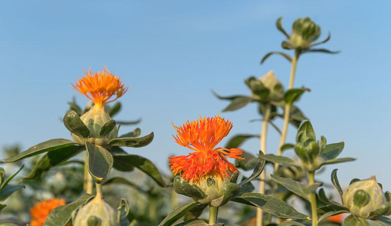 planta-sofranel