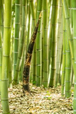bete-bambus